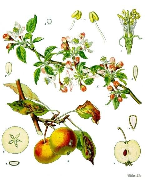 von Franz Eugen Köhler, Köhler's Medizinal-Pflanzen (List of Koehler Images) [Public domain], via Wikimedia Commons